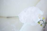 Phalaenopsis fehér