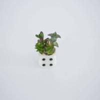 Mini pozsgás dobókockában 2,5x5,5cm
