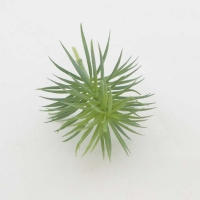 Tűlevelű szukkulens 14cm zöld