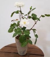 Cserepes rózsabokor 25cm fehér 1.