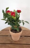 Cserepes rózsabokor 25cm piros