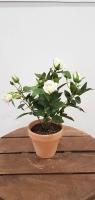 Cserepes rózsabokor 25cm fehér