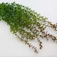 Zöld futó növény 65cm
